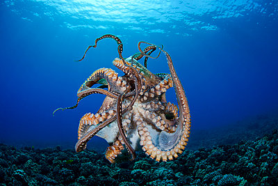 Hawaii, Maui, Female Octopus (Cephalopod) Swims Freely Underwater, Tentacles Tangled. - p442m934972 by Dave Fleetham