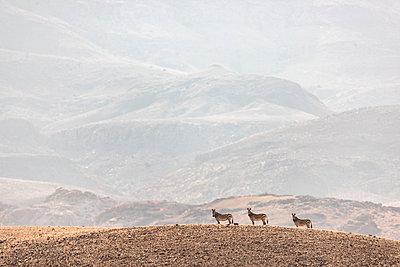 three zebras stand motionless on top of a hill - p1166m2177011 by Cavan Images