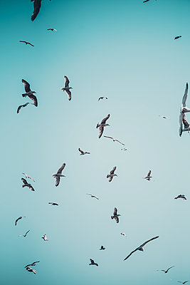 Seagulls flying in a blue sky - p1628m2195762 by Lorraine Fitch