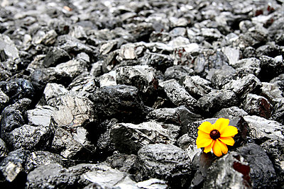 Flower in between charcoal - p7950009 by Janklein