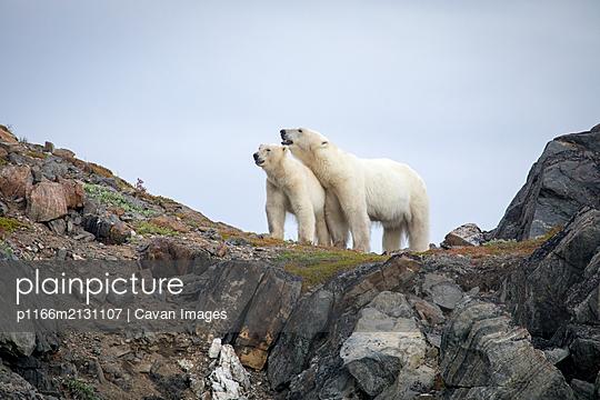 Polar bear explores rocky shoreline, Torngats Mountains National Park - p1166m2131107 by Cavan Images
