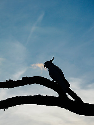 Silhouette of cockatoo on branches - p1427m2000049 by WalkerPod Images