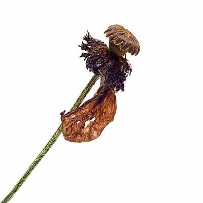 Opium poppy II - p813m831861 by B.Jaubert
