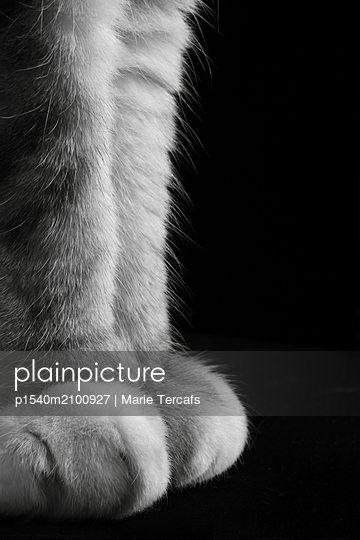 Close-up of a tabby cat's paws - p1540m2100927 by Marie Tercafs