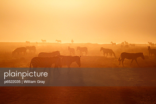 Plains zebra silhouetted at sunrise in Ngorongoro Crater, Tanzania. - p6522035 by William Gray