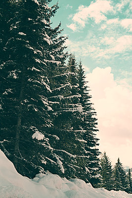Evergreen Trees with Snow and Clouds - p1617m2264080 by Barb McKinney