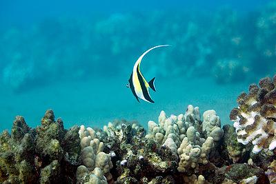 Tropical fish - p312m1164589 by Plattform photography