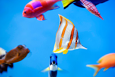 View of multi colored tropical fish - p575m744068f by Per Eriksson