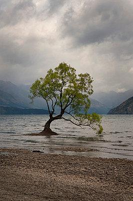 Wanaka Tree in Neuseeland - p470m2082301 von Ingrid Michel