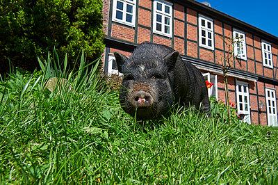 Schwein vor einem Bauernhaus - p763m1160166 von co-o-peration
