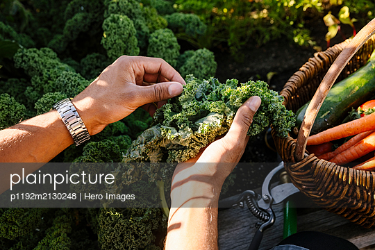 Close up personal perspective man harvesting fresh kale in garden - p1192m2130248 by Hero Images