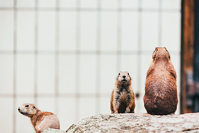 Prairie dogs keeping watch - p1085m1426000 by David Carreno Hansen