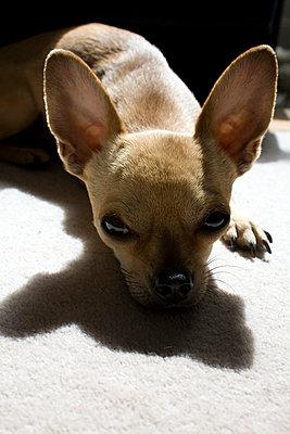 Chihuahua - p1121m932006 von Gail Symes