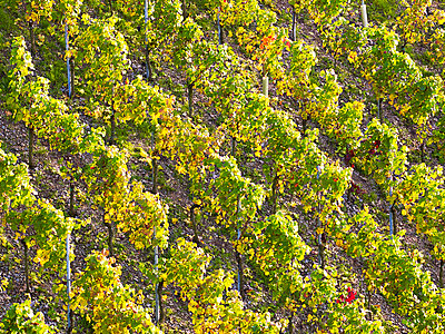 Vineyard - p885m865633 by Oliver Brenneisen