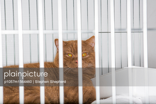 Katze im Käfig auf einer Katzenshow - p1057m1564460 von Stephen Shepherd