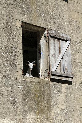 Goat - p1105m938762 by Virginie Plauchut