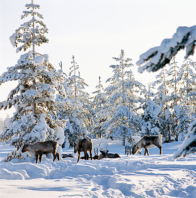 Reindeers in the forest at winter - p575m1074679f by Kate Karrberg