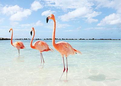 Flamingos at Aruba - p045m912530 by Jasmin Sander