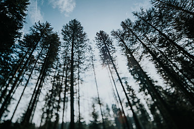 Coniferous trees in Harz National Park  - p1184m1222750 by brabanski