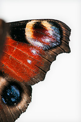 European peacock, wings colouring upper side, Inachis io - p1437m2052910 by Achim Bunz