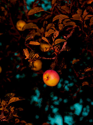 Apple tree with apples - p801m2257693 by Robert Pola