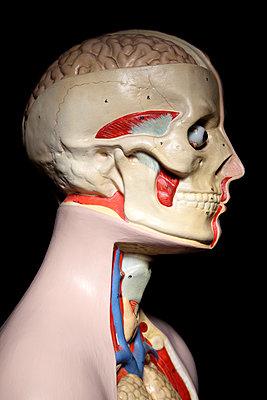 Anatomiemodell, Kopf lateral - p237m886625 von Thordis Rüggeberg