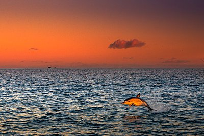 Dolphin, South West Cork, Ireland - p429m1047239 by George Karbus Photography