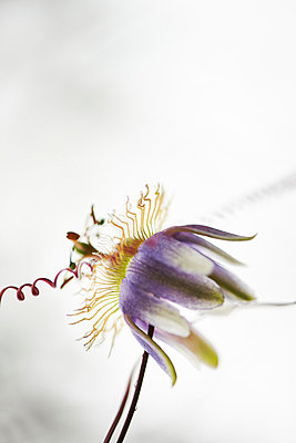 Passion flower - p587m1055270 by Spitta + Hellwig