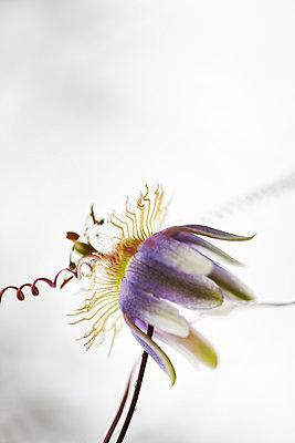 Passionsblume - p587m1055270 von Spitta + Hellwig