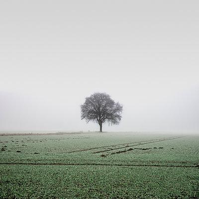 Single tree on field in he morning fog - p1162m2281068 by Ralf Wilken