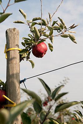 Roter Apfel - p1164m951927 von Uwe Schinkel