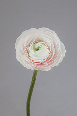Pale Ranunculus on grey - p1470m2030752 by julie davenport
