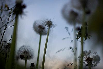 Pusteblumen am Abend - p1980143 von David Breun