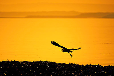 Silhouette of heron flying over water - p429m767985 by George Karbus Photography