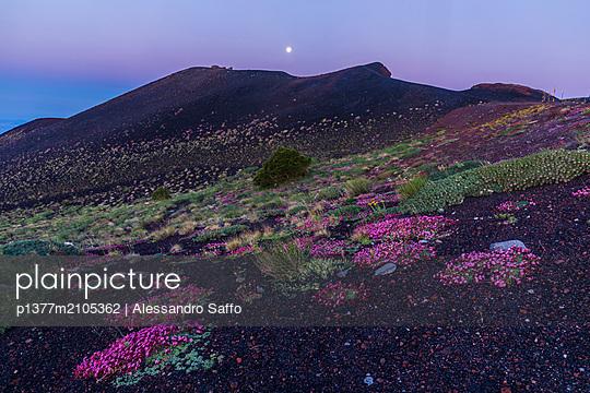 Italy, Sicily, Catania district, Mount Etna, Silvestri Craters, Saponaria (Saponaria sicula) and Romice Etna (Rumex aetnensis) near the Sapienza refuge - p1377m2105362 by Alessandro Saffo