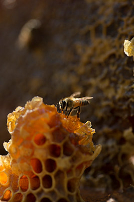 Close-up of honey bee on honeycomb - p1166m1544544 by Cavan Social
