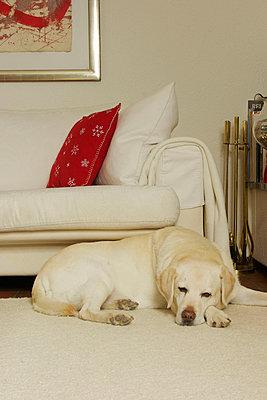 Weißer Retriever - p1514m2056755 von geraldinehaas