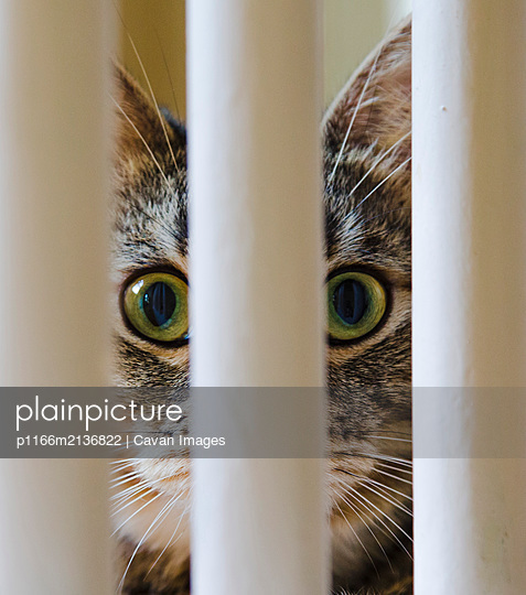 An American short hair tabby feline attentively peers between staircase bannisters. - p1166m2136822 by Cavan Images