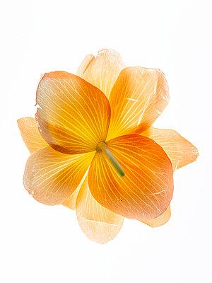 Begonienblüte Unterseite - p401m2168391 von Frank Baquet