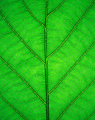 Close-up of an Oak leaf. - p5145843f by amanaimages