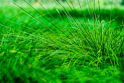 Close up vibrant green grass - p301m2075557 by Sven Hagolani