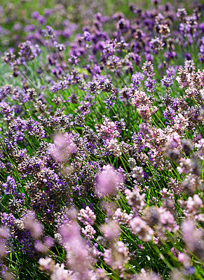Field of lavender in Isle of Wight;  UK - p349m920082 by Rachel Whiting