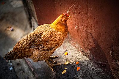 Chicken - p1007m886928 by Tilby Vattard
