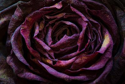 Die Schönheit des Vergänglichen - p1057m916841 von Stephen Shepherd
