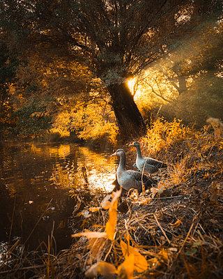Deutschland, Gänse vor Sonnenuntergang im Herbst - p1549m2222989 von Sam Green