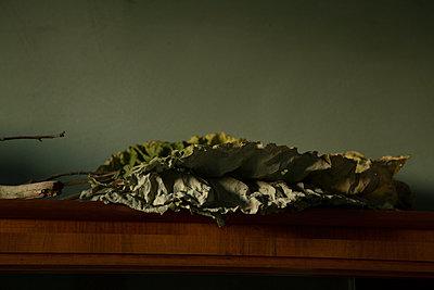 Getrocknete Pestwurzblätter - p1650m2231840 von Hanna Sachau