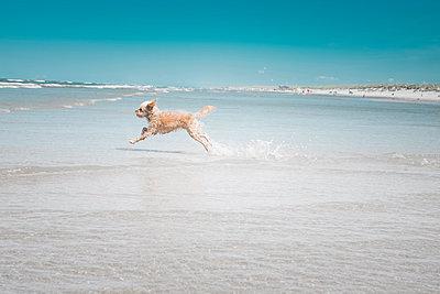 Rennender Hund am Strand von Ameland - p299m1466466 von Silke Heyer
