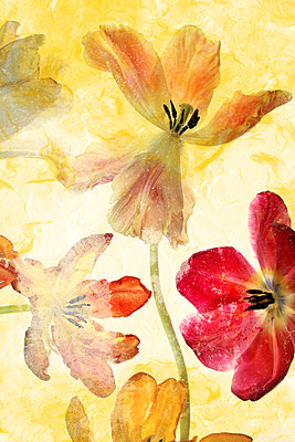 Tulips - p450m1559164 by Hanka Steidle