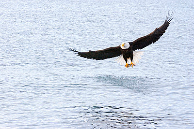 Bald Eagle With Fish - p4342909f by Donna Eaton