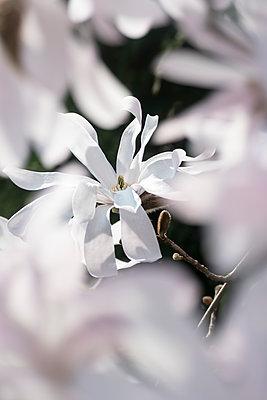 Blüte einer Sternmagnolie - p739m1333130 von Baertels